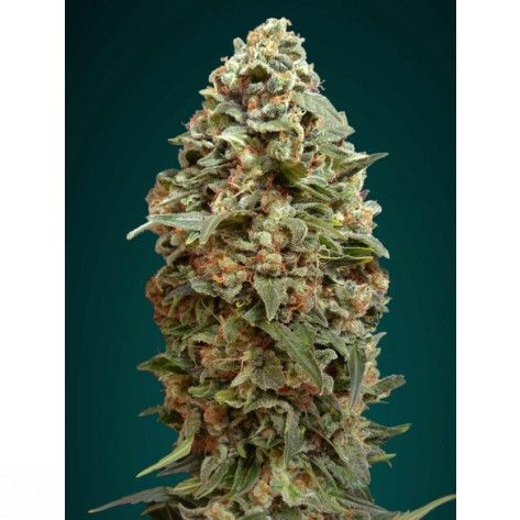 AFGHAN SKUNK ADVANCED SEEDS 100UN