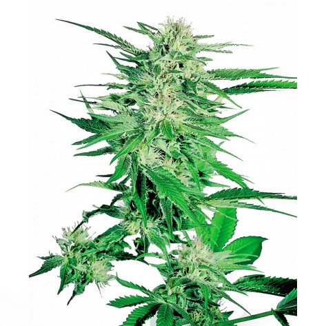 BIG BUD SENSI SEEDS 25UN