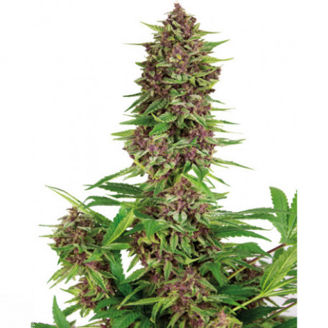 PURPLE KUSH BUDDHA SEEDS 1UN