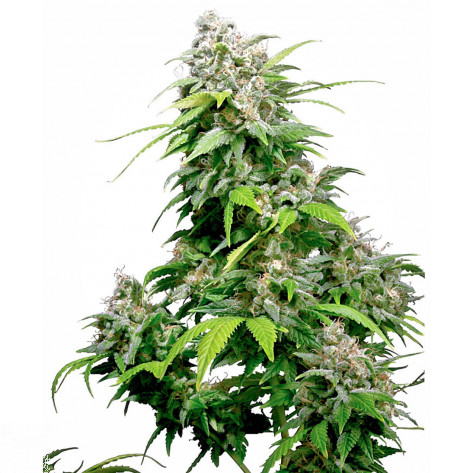 CALIFORNIA INDICA REGULAR SENSI SEEDS 10UN