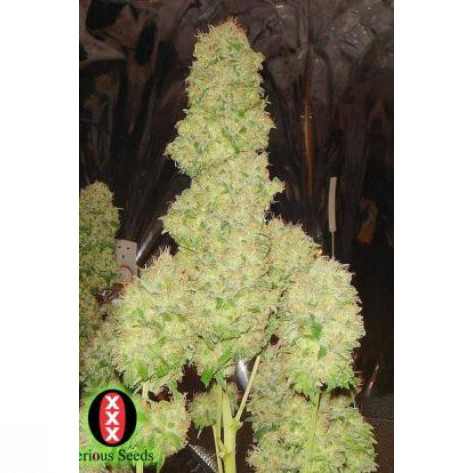 WHITE RUSSIAN SERIOUS SEEDS 6UN
