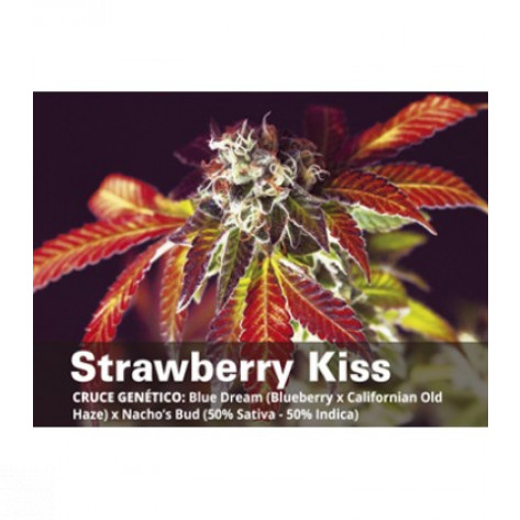 STRAWBERRY KISS BCN SEEDS 6UN