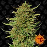 CRITICAL KUSH BARNEY'S FARM REGULARES 10UN