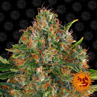 G13 HAZE BARNEY'S FARM REGULARES 10UN