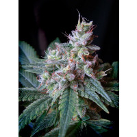 CREAM CARAMEL SWEET SEEDS 3+1 REGALO-21