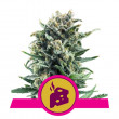 BLUE CHEESE ROYAL QUEEN 1UN
