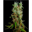 G13-HAZE HEAVEN SOMA SEEDS-G13 REGULARES 10UN