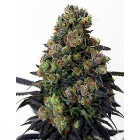 ACID DOUGH RIPPER SEEDS 3UN