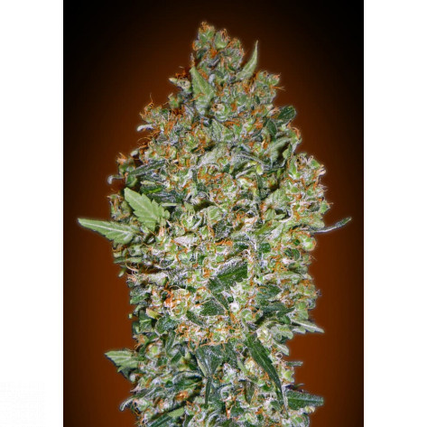 CHEESE BERRY 00SEEDS