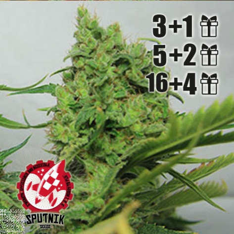 HAS PLANT G-13 SPUTNIK SEEDS
