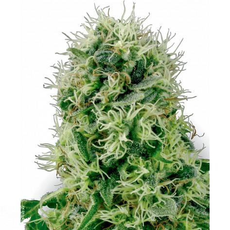 POWER PLANT SENSI WHITE LABEL 5UN