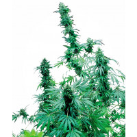 EARLY SKUNK SENSI SEEDS 3UN