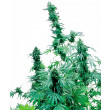 EARLY SKUNK SENSI SEEDS 5UN
